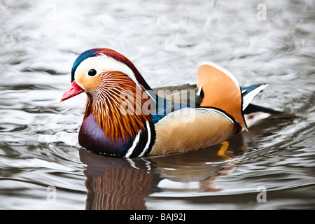 Mandarin duck on pond - Stock Photo