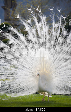 A male albino Peacock (Pavo cristatus) spreading its tail (Italy). Paon bleu (Pavo cristatus) leucistique mâle faisant - Stock Photo