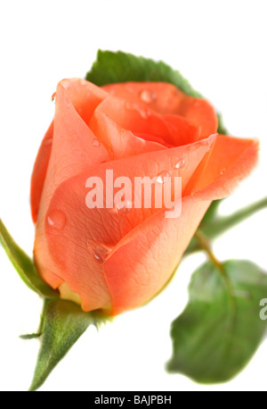 Pink Rose with drops of dew isolated on white - Stock Photo
