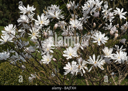 Flowers of Magnolia stellata a small white spring flowering ornamental tree - Stock Photo
