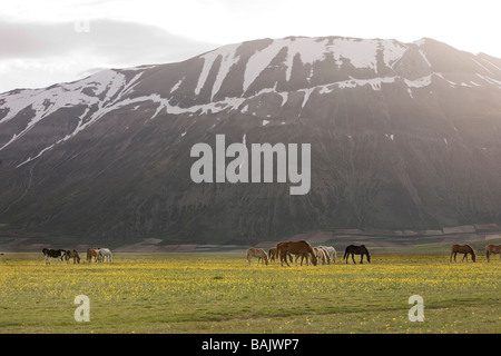 horses grazing among the wild flowers of the Piano Grande in the Umbrian Monti Sibillini National Park in Italy - Stock Photo