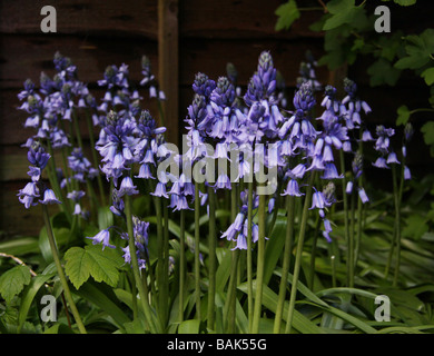 Spanish Bluebells, Hyacinthoides hispanica Scilla hispanica - Stock Photo