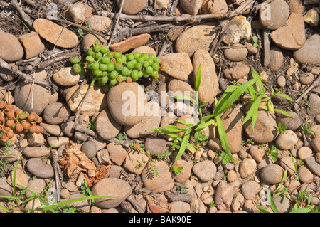 carignan green-harvested grapes on the ground big 'galet' stones vineyard chateau de nages rhone france - Stock Photo