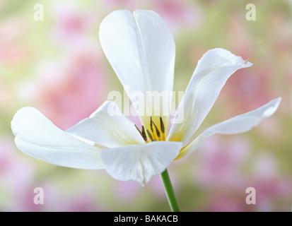 White tulip tulipa flower head - Stock Photo