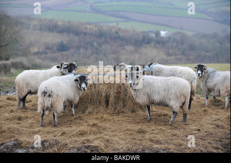 Scottish black face sheep eatinghay  from a round feeder - Stock Photo