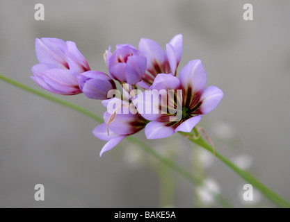 Glory of the Sun, Leucocoryne purpurea, Alliaceae, Chile, South America. - Stock Photo