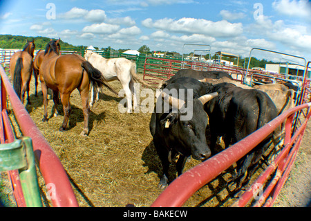 Livestock in a holding pen eating hay - Stock Photo