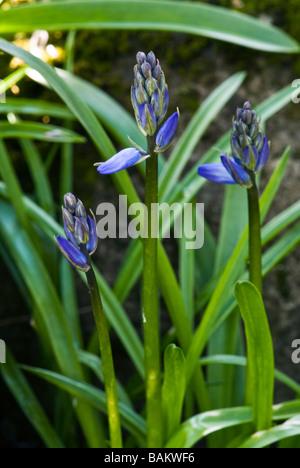 Hyacinthoides Hispanica, Spanish Bluebell, close up detailed shot - Stock Photo