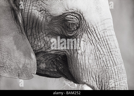 Close up of an elephant - Stock Photo