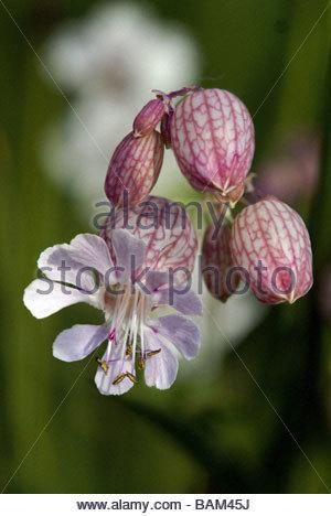 Bladder campion   Silene vulgaris   silène enflé - Stock Photo