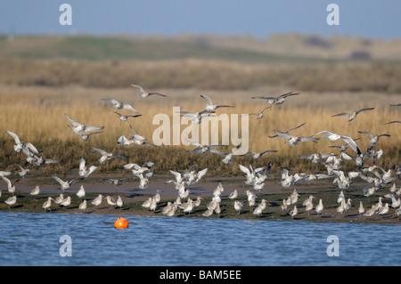 Bar tailed godwits limosa lapponica flock alighting in coastal estuary Norfolk UK - Stock Photo