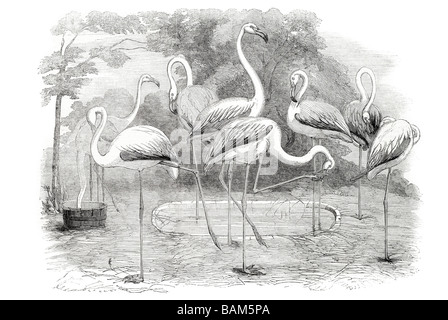 flamingoes in the gardens of the zoological society regent's park 1853 regent garden - Stock Photo