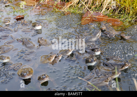 Garden wildlife Frogs common frog rana temporaria adults in mating activity in garden pond in spring March - Stock Photo