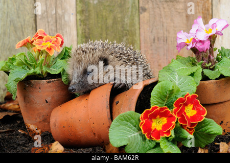 European Hedgehog erinaceus europaeus exploring amongst primroses and terracotta flowerpots - Stock Photo