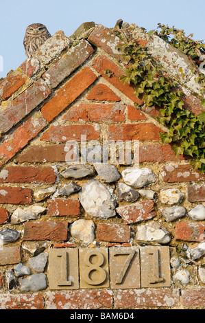 Little Owl athene noctua perched on derelict barn roof in daylight Norfolk UK August - Stock Photo