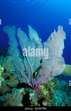 Venus Sea Fan Gorgonia flabellum Caribbean Cuba - Stock Photo