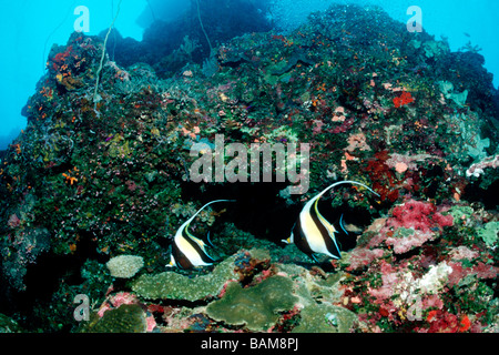Pair of Moorish Idol Zanclus cornutus Pacific Micronesia Palau - Stock Photo