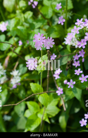 Red Campion growing in Keg Wood at Etherow Country Park at Compstall in Cheshire - Stock Photo
