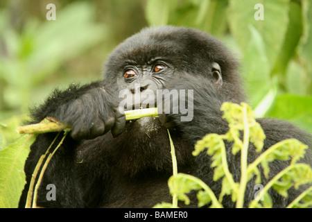 Mountain gorilla - Stock Photo