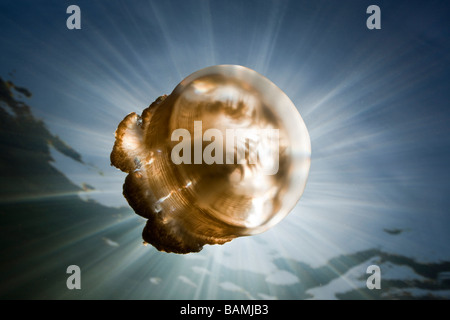 Mastigias Jellyfish in Backlight Mastigias papua etpisonii Jellyfish Lake Micronesia Palau - Stock Photo