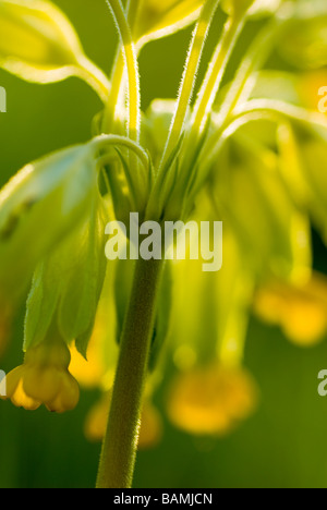 England Northumberland Slaley Cowslip Growing in a Northumberland Wildlife Trust Reserve known as Juliet s Wood - Stock Photo