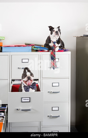 Two Boston Terriers sitting in and on top of file cabinet - Stock Photo