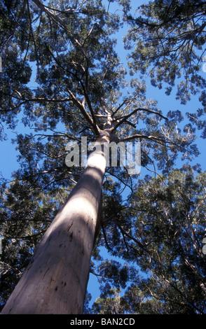 eucalyptus forest Western Australia - Stock Photo