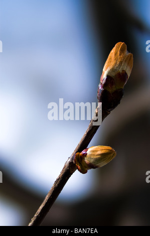 Closeup of a budbreaking chestnut tree (Aesculus hippocastanum) in spring - Stock Photo
