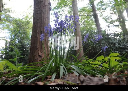 Wild Bluebells in Shropshire Woodland England Uk - Stock Photo
