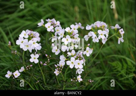 Cuckoo Flower Lady's Smock Milkmaids - Stock Photo