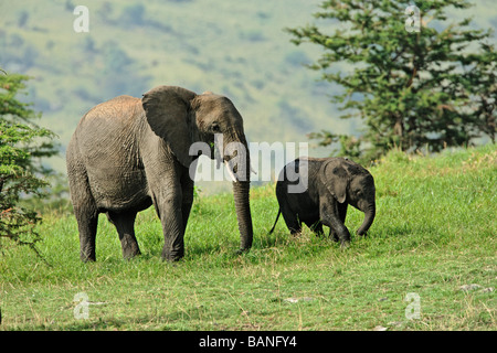 Adult female african elephant with young browsing on the green grasses of the Serengeti National Park, Tanzania - Stock Photo