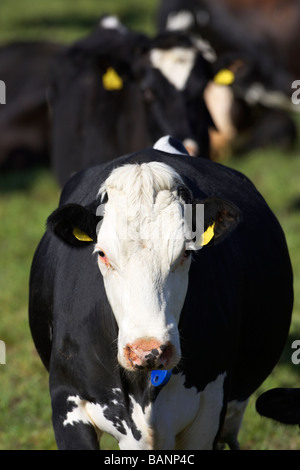 cow looking directly to camera as part of herd of tagged managed cows cattle in a field in county tyrone northern - Stock Photo