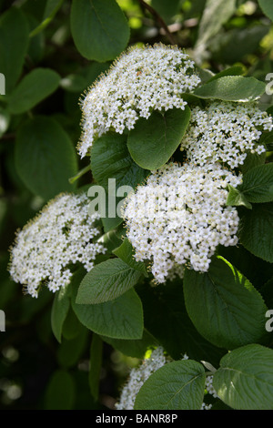Wayfaring Tree, Viburnum lantana, Adoxaceae - Stock Photo