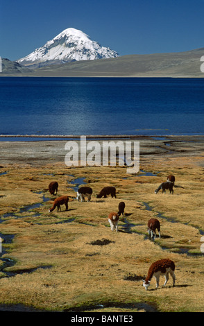 ALPACAS graze below MT SAJAMA 21 484 ft on the shores of LAGO CHUNGARA LAUCA NATIONAL PARK CHILE - Stock Photo