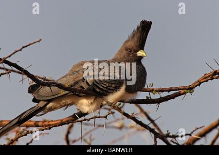White Bellied Go Away Bird sitting on a thorny branch of an acacia tree in Samburu National Reserve Kenya - Stock Photo
