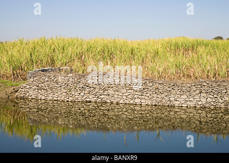 Wheat crop in a field, Udaipur, Rajasthan, India - Stock Photo