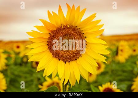Campo de Girasoles Andalucía España Sunflowers Field Andalusia Spain - Stock Photo