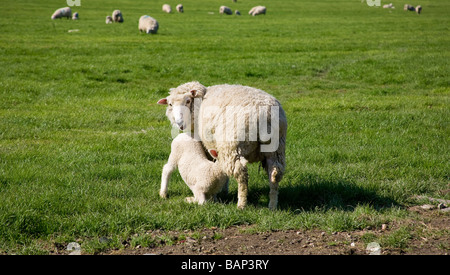 Lamb (Ovis aries) suckling milk from her mother on the South Downs, West Sussex, UK