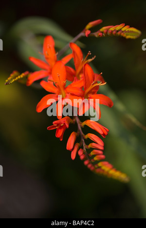 The bright orange flowers of a Crocosmia in bloom in Glossop - Stock Photo