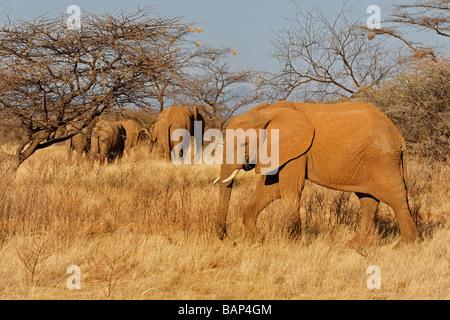 African elephant browsing on shrubs in the harsh environment of Samburu National Reserve Kenya - Stock Photo