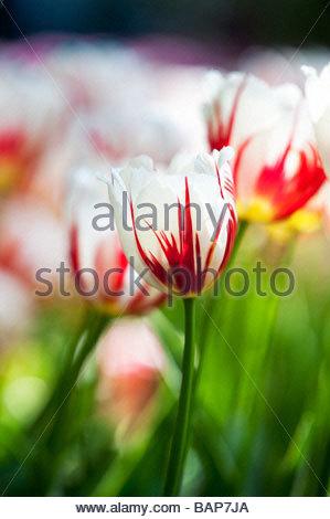 Tulipa. Tulip 'carnaval de rio' flowers at Keukenhof gardens, Lisse, Amsterdam, Holland - Stock Photo