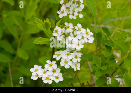 Flowers Of The Spiraea Arguta Bridal Wreath - Stock Photo