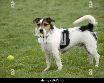 Jack Russell Terrier playing fetch - Stock Photo