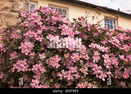 Pink clematis montana in a town garden  in Buckingham UK - Stock Photo
