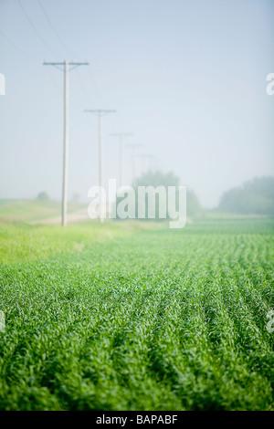 Young wheat in field, Saskatchewan, Canada - Stock Photo