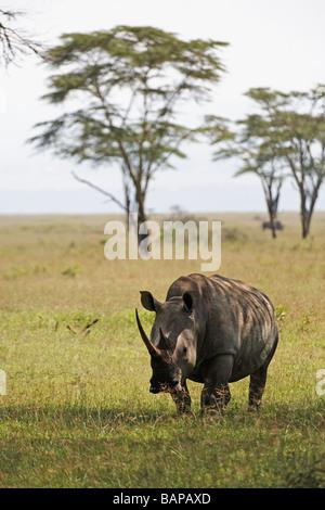 White rhino grazing on the short grasses of Lake Nakuru National Park in Kenya - Stock Photo
