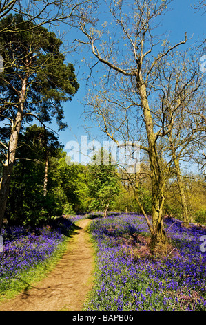 Bluebells in woodland in Essex. - Stock Photo
