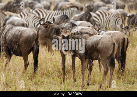 Wildebeest migrate by the thousands through the tall grasses of the Masai Mara National Reserve in Kenya. - Stock Photo