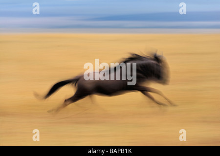 A fast running wildebeest through the tall golden grasses of the Serengeti in the Masai Mara National Reserve Kenya - Stock Photo