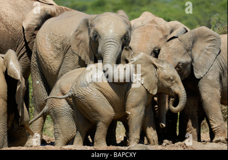 A group of female African Elephants (Loxodonta africana) with perhaps young males enjoy the pleasure of cool mud - Stock Photo